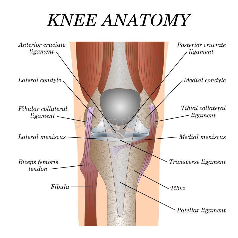 Anatomia della vista frontale del giunto di ginocchio, modello per la formazione del manifesto chirurgico medico illustrazione vettoriale