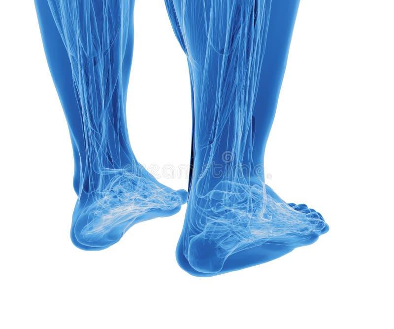 Anatomia delle gambe umane fotografie stock