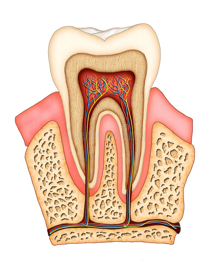 Anatomia dentale illustrazione di stock
