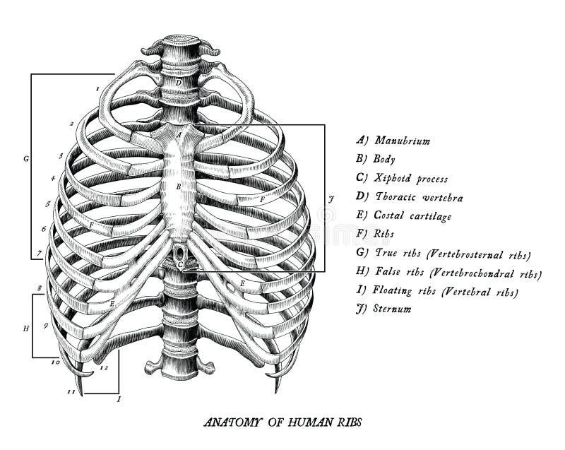 Anatomia di clipart d'annata delle costole di tiraggio umano della mano isolato sul whi royalty illustrazione gratis