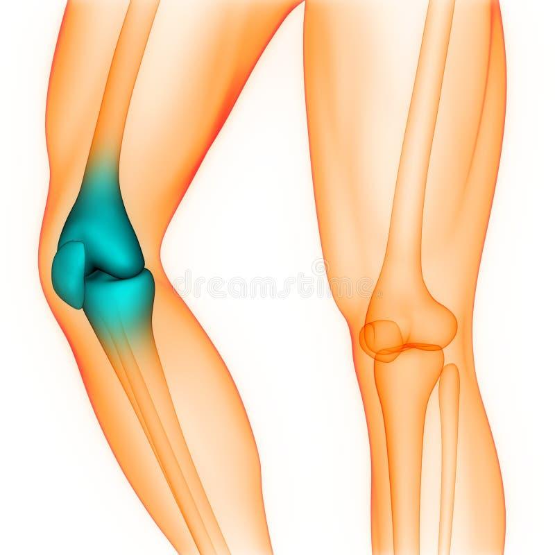 Anatomia di dolori articolari del ginocchio del sistema di scheletro del corpo umano illustrazione vettoriale
