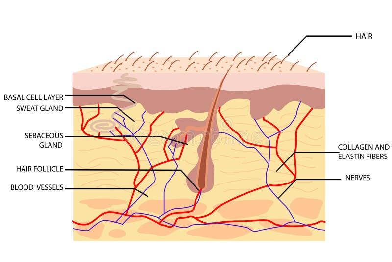 Anatomia di pelle illustrazione di stock