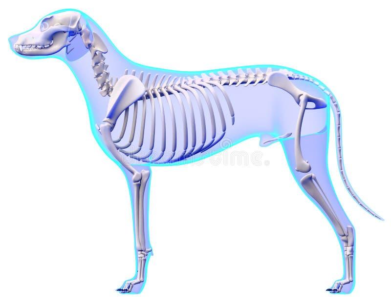 Anatomia di scheletro del cane - anatomia di uno scheletro maschio del cane illustrazione di stock
