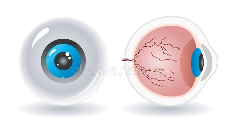 Anatomia di vettore dell'occhio umano illustrazione di stock