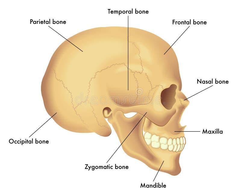 Anatomia diagram czaszka ilustracja wektor