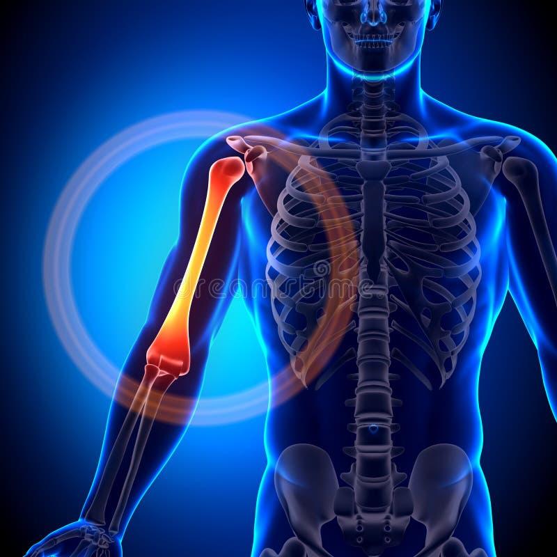 Anatomia do úmero/braço - ossos da anatomia ilustração do vetor