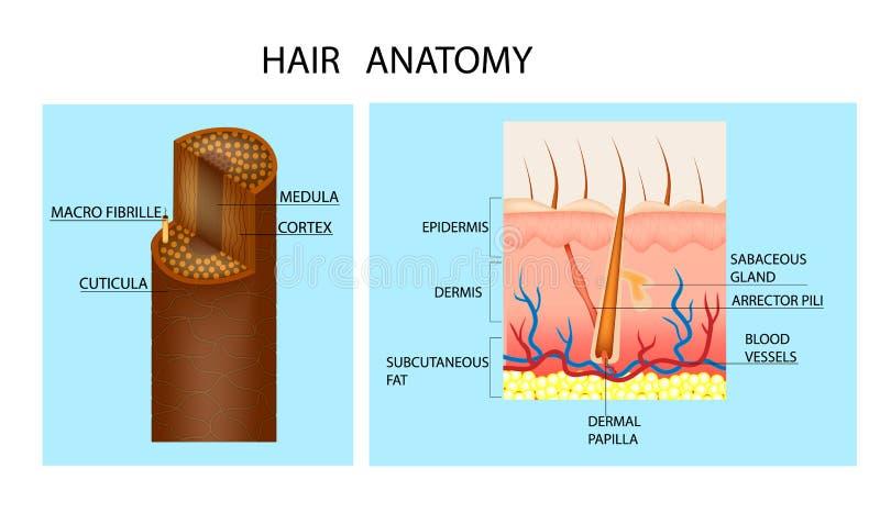 Anatomia do cabelo e folículo de cabelo ilustração royalty free