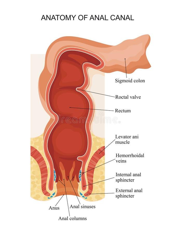 Anatomia do canal anal ilustração royalty free