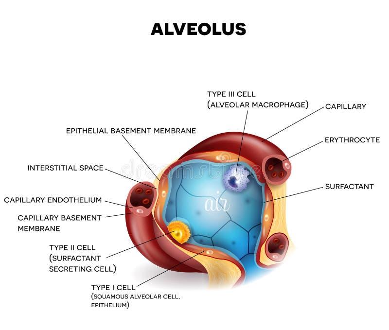Anatomia do close up do alvéolo ilustração royalty free