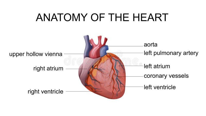 Anatomia do coração ilustração do vetor