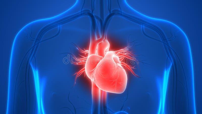 Anatomia do coração do sistema circulatório dos órgãos do corpo humano ilustração stock