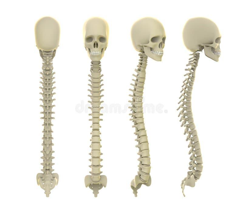 Anatomia do crânio e da espinha ilustração royalty free