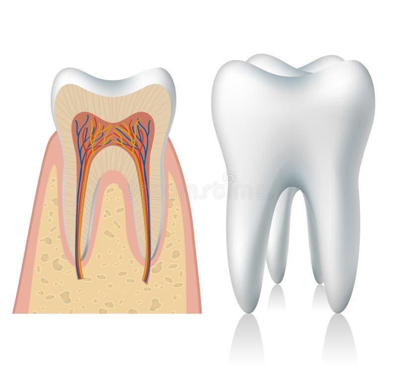 Anatomia do dente ilustração do vetor