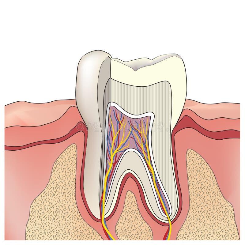 Anatomia do dente. Ilustração do vetor. ilustração stock