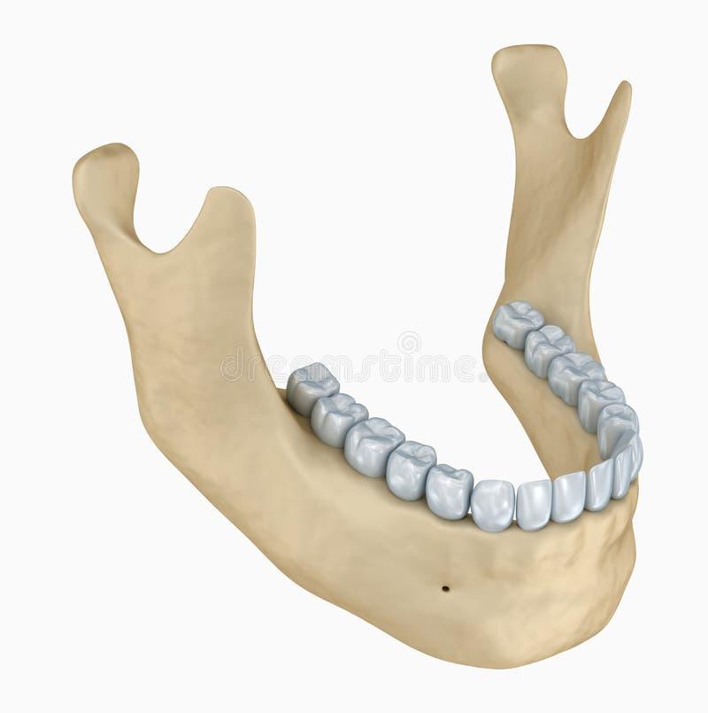 Anatomia do esqueleto e dos dentes da mais baixa maxila ilustração royalty free