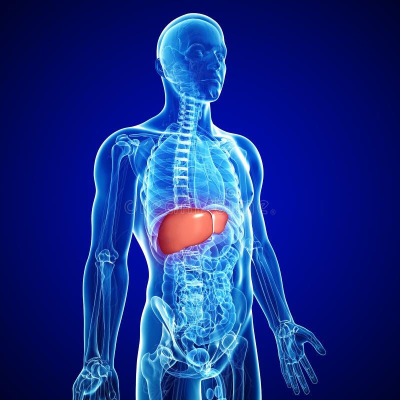 Anatomia do fígado ilustração royalty free