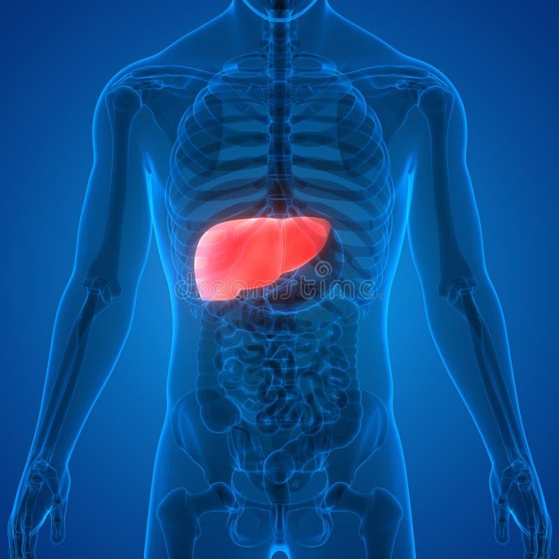 Anatomia do f?gado do sistema digestivo dos ?rg?os do corpo humano ilustração stock