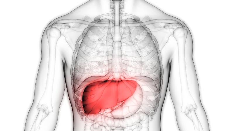 Anatomia do f?gado do sistema digestivo dos ?rg?os do corpo humano ilustração do vetor