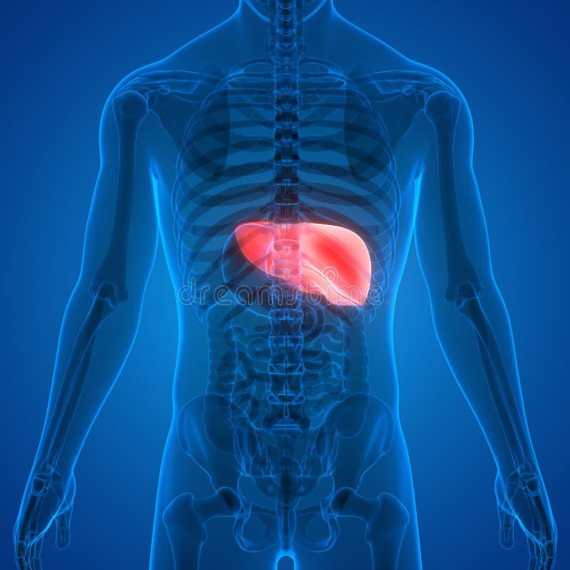 Anatomia do f?gado do sistema digestivo dos ?rg?os do corpo humano ilustração royalty free