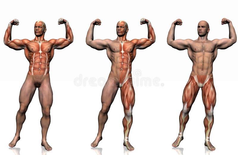 Anatomia do homem. ilustração royalty free