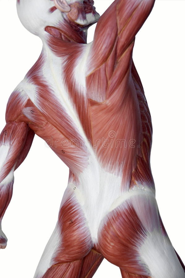 Anatomia do homem do músculo fotos de stock