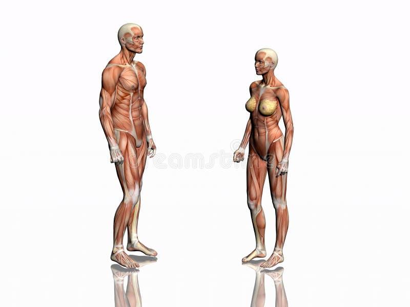 Anatomia do homem e da mulher. ilustração stock