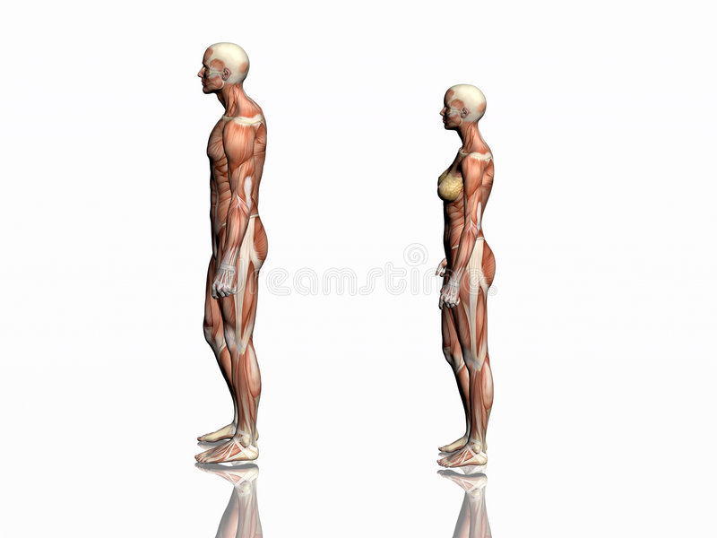 Anatomia do homem e da mulher. ilustração royalty free