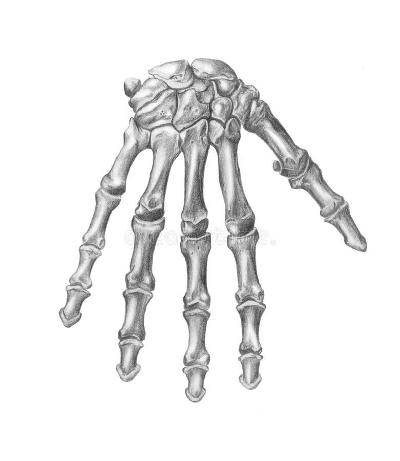 A anatomia do homem. A mão ilustração royalty free