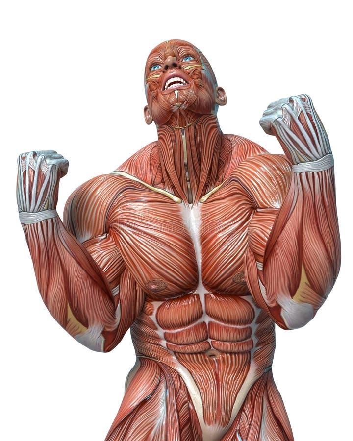 Anatomia do homem do músculo em um fundo branco ilustração stock
