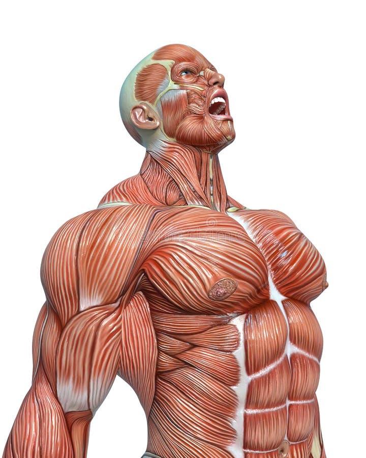 Anatomia do homem do músculo em um fundo branco ilustração royalty free