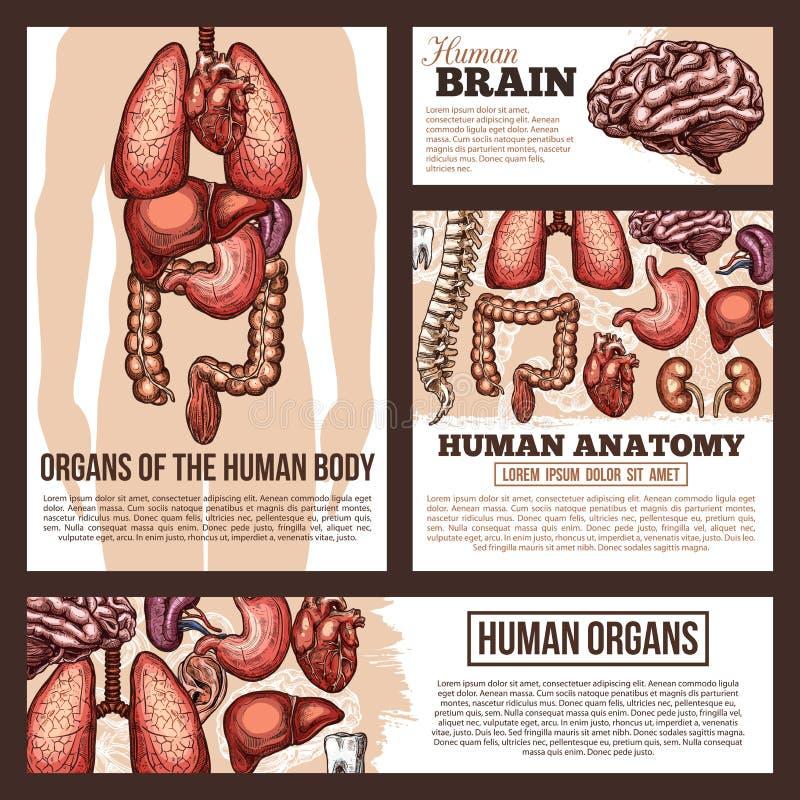 Anatomia do molde da bandeira do esboço dos órgãos humanos ilustração stock
