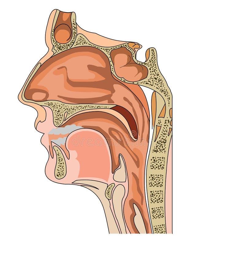 Anatomia do nariz ilustração do vetor