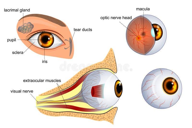 Anatomia do olho o globo ocular, íris, aluno ilustração stock