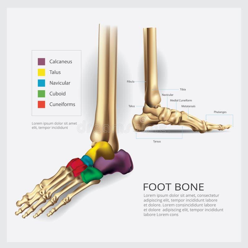 Anatomia do osso de pé ilustração do vetor