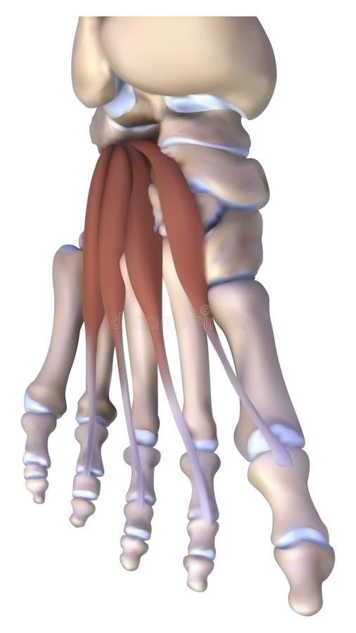 Anatomia do osso de pé ilustração royalty free
