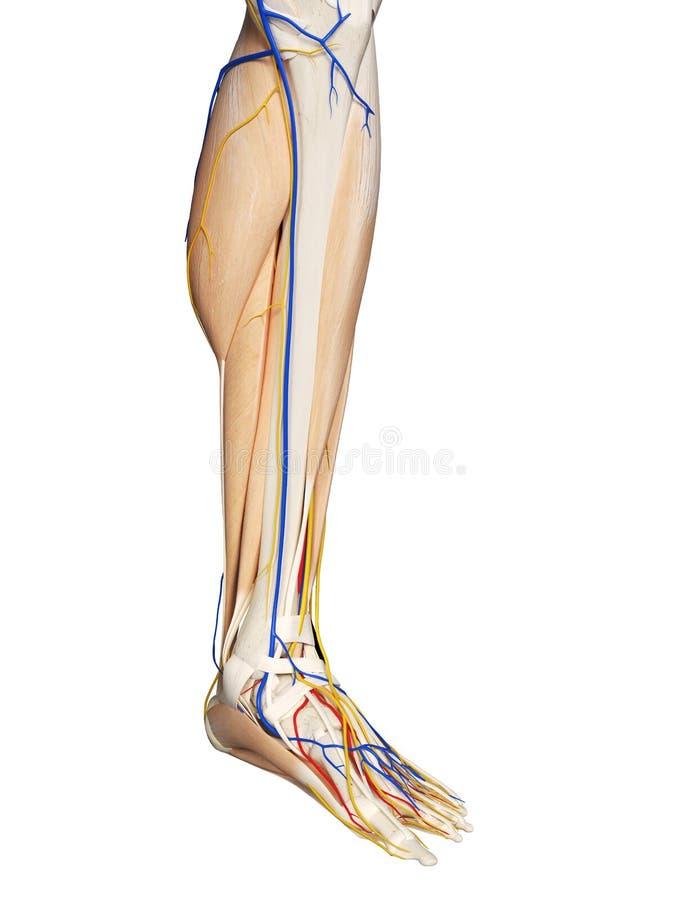 A anatomia do pé ilustração stock