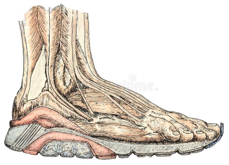 Anatomia do pé imagem de stock