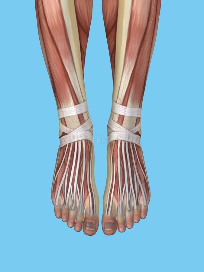 Anatomia do pé e do tornozelo ilustração do vetor