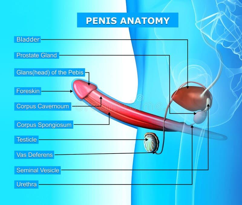 Anatomia Do Pénis Isolada No Azul Ilustração Stock - Ilustração de ...
