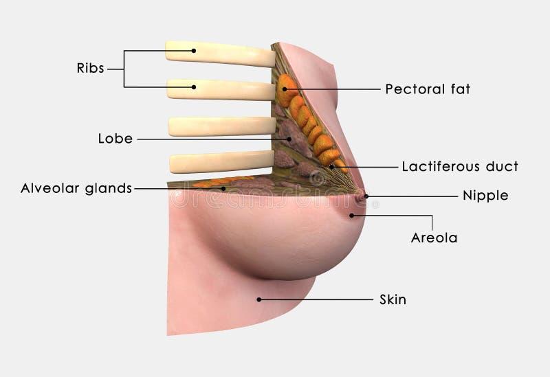 Anatomia do peito etiquetada ilustração royalty free
