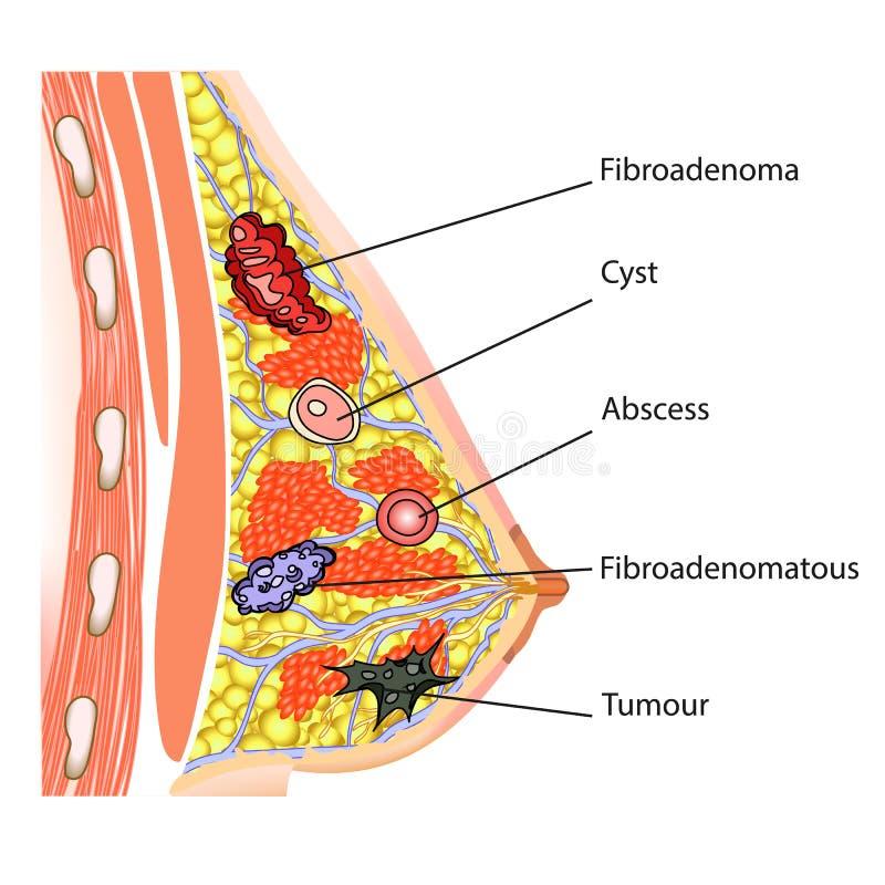 Anatomia do peito fêmea ilustração royalty free