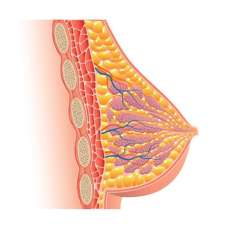 Anatomia do peito isolada no vetor branco ilustração do vetor