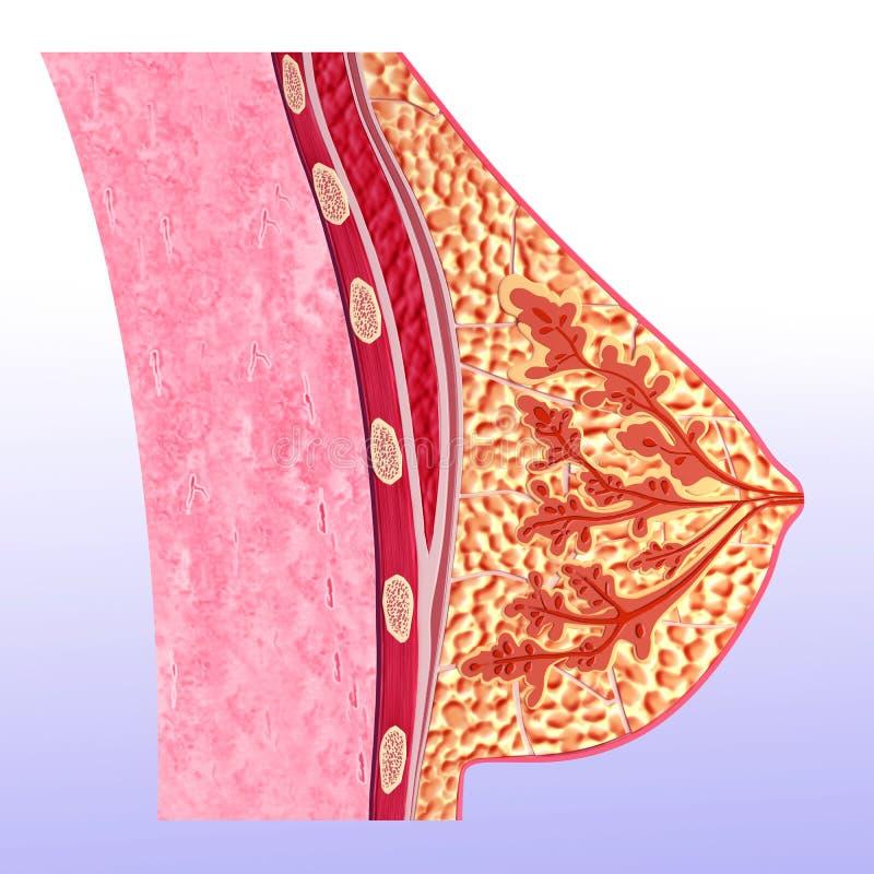 Anatomia do peito no secção transversal ilustração royalty free