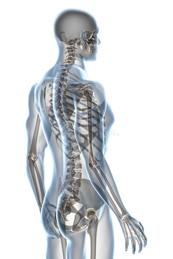 Anatomia do raio X no branco ilustração do vetor