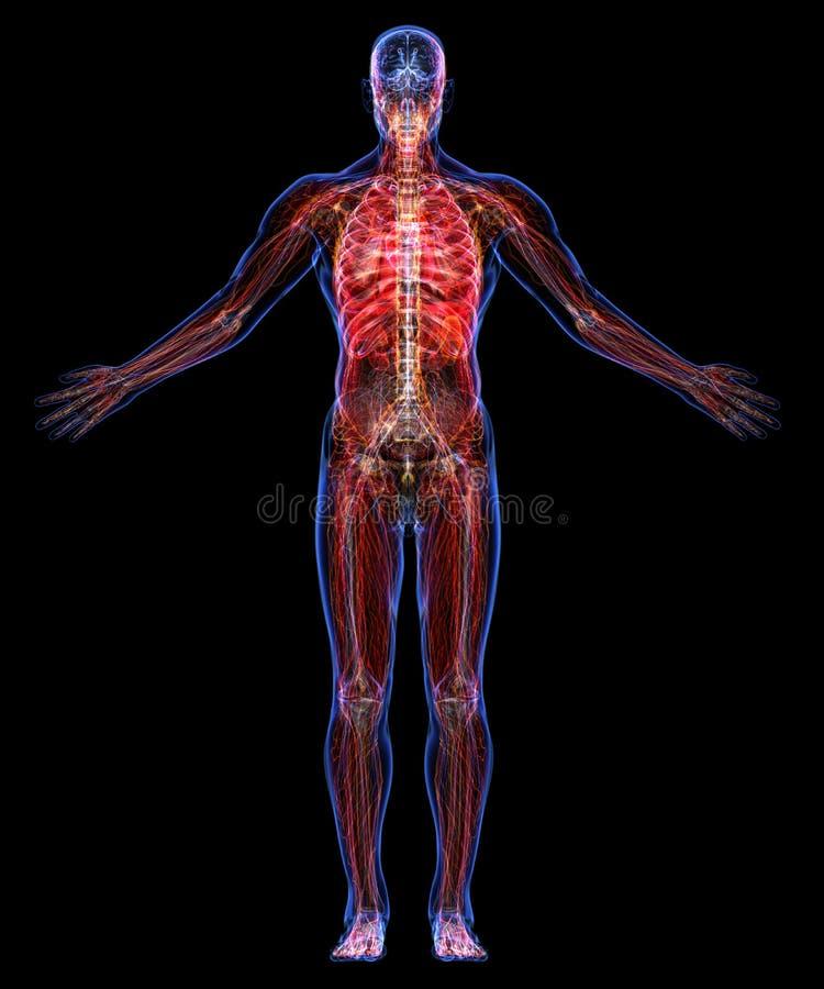Anatomia do ser humano ilustração stock