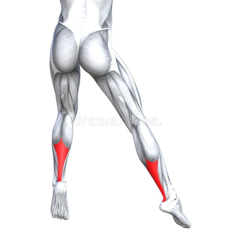 Anatomia do ser humano do pé da parte traseira da ilustração do conceito 3D mais baixa ilustração stock