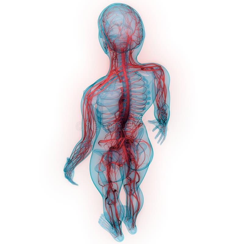 Anatomia do sistema circulatório de corpo humano ilustração royalty free
