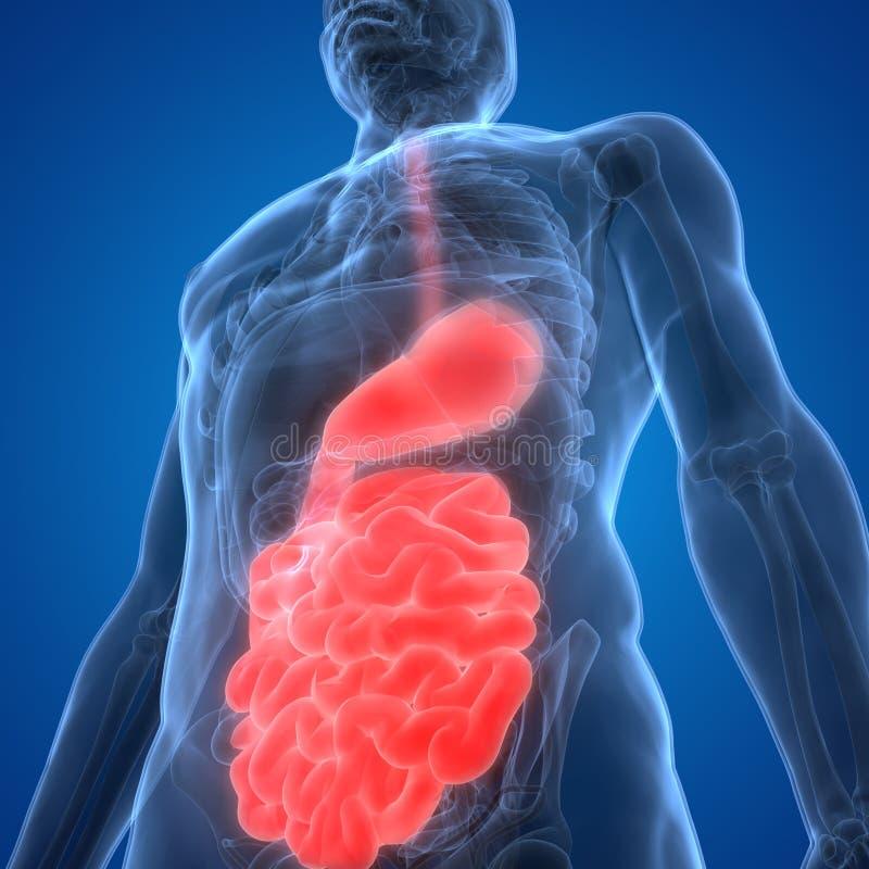 Anatomia do sistema digestivo dos ?rg?os do corpo humano ilustração stock