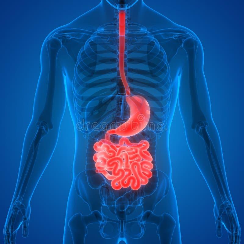 Anatomia do sistema digestivo dos ?rg?os do corpo humano ilustração royalty free