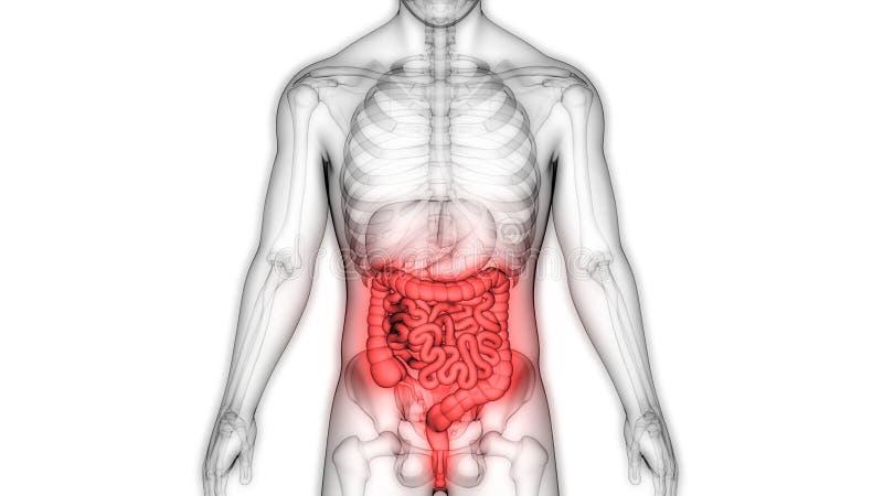 Anatomia do sistema digestivo dos ?rg?os do corpo humano ilustração do vetor